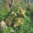 白菜収穫する