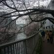 ボンジョルノ昼食会と花見・御殿山(4月1日)