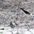 埼玉県川越市にある伊佐沼の浅瀬には、セイタカシギが飛来しています