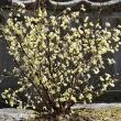 春の黄花樹木(2)~ ヒュウガミズキ
