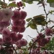 雨の日ご近所のお花たちから…4/14