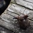 ついに見つけたウシカメムシ!