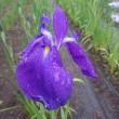 似て非なる「古紫」と「小紫」
