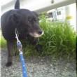 若い柴犬を連れた人と出合ったが、犬は案外、素っ気なかった
