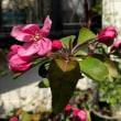 クラブアップルの花が開きました。