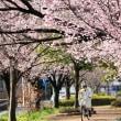 桜のマチの彩り