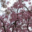 小田原城の桜(その2)