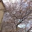 松戸の桜はまだまだ