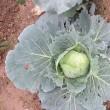 時間差で育つ我が家の野菜