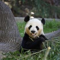 アトランタ動物園のパンダほか