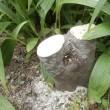 月桂樹を伐採