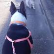 ボストンテリアのチェス君 お散歩中の猫ちゃんと対峙!