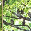 野間大ケヤキのアオバズクと燕の子育て