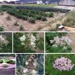 【家庭菜園】 現在(5月23日)のジャガイモ+タマネギ+そら豆。