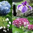 鎌倉の紫陽花と花菖蒲2015-6-3
