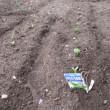 ソラマメが芽を出す。