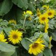 京都府立植物園 ① 向日葵