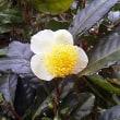 秋彩のハーモニー 茶の花