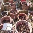 鉢植えブルーベリーの剪定