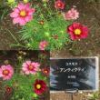 ケイトウ&曼珠沙華狩り 東京都立川市 昭和記念公園(6)コスモス見本園
