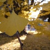 『落葉~初冬の千本公孫樹』@葛飾八幡宮