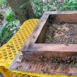 日本ミツバチ 夏の暑さ対策