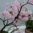 家の春蘭は今年も咲かない(-_-)