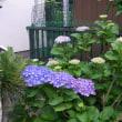 イベント第三弾 紫陽花が咲き始めています