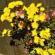 食用菊が花盛り
