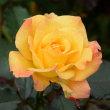旧古河庭園のバラ(リオサンバ)・・5
