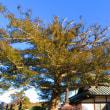 『町の樹』 カヤの木