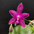 Phal.(speciosa × violacea'Blue')