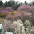 しだれ桜色づく