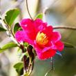 そろそろ、山茶花の季節‥② 【ひで某】