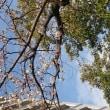 福岡の桜の開花はまだですが