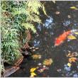 源氏池のユリカモメ、紅葉