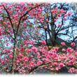 春のさきがけ?…(^^♪少し遅め やっと見ごろを迎えた団地入口の鮮やかな濃いピンク色の「寒緋桜(カンヒザクラ)」