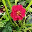 べに花イチゴの花