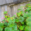 秋の名のつく花「秋海棠」も咲きはじめ。