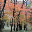 葛城の森のセンブリ開花