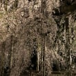 山梨県甲州市塩山 慈雲寺のイトザクラ