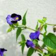 帰化植物展