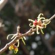 マンサクの花