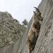 シロイワヤギ、ヤギのメディスン(修正再掲)