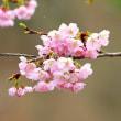 早咲きサクラが咲き始めました