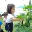 きゅうりを収穫したよ★わかくさ中央保育園★