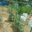 畑の野菜たち