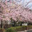 京都桂坂の桜