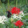 公園に咲いた彼岸花とモンキーアゲハ