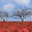 赤い絨毯・コキア